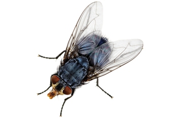 How To Remove Flies Naturally